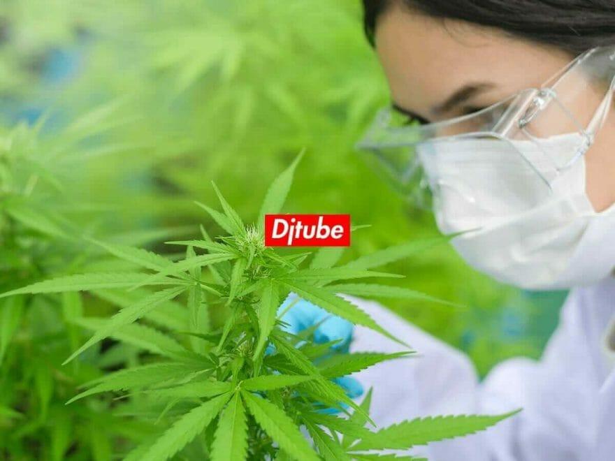 CBD 大麻